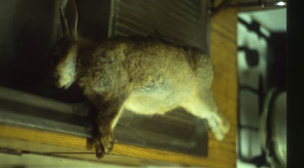 image of small dead hare on sink