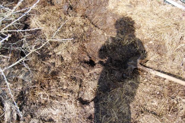 digging horse manure